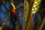 Atala butterfly depositing egss on coontie, (7 of 7).