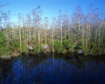 Bald cypress trees in winter.