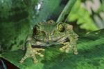 Brown big eyed tree frog