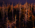 Dead fraser fir trees at Clingman's Dome. Killed by balsam woolly adelgid.