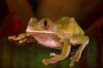 Green big-eyed treefrog