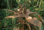 A fresh cut diptocarp tree is logged from lowland tropical rainforest