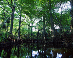 Bald cypress trees along Loxahatchee River