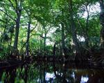 Bald cypress trees along Loxahatchee River