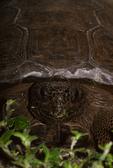 Gopher tortoise eating