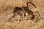 Chacma baboons running