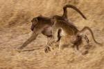 Chacma baboons running