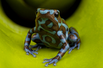 Blue and brown poison frog