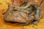 Suriname horn frog