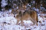 Alaska tundar wolf