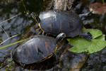 Coastal plain cooters