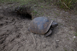 Gopher tortoise leaving burrow.