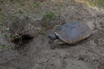 Gopher tortoise returning to its' burrow.