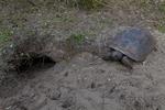 Gopher tortoise at burrow