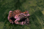 Neotropical marbled treefrog