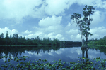 Cypress trees and lily pads at Billys Lake