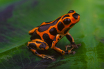 Srawberry poison frog