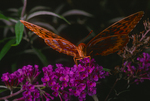 Gulf fritillary nectaring on orange eye butterfly bush