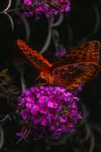Gulf fritillary nectaring on orange eye butterfly bush