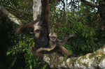Agile gibbon with infant