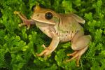 Tanzanian bigeyed tree frog