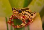 Ngorongoro reed frog