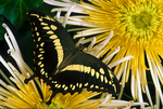 Constantine's swallowtail butterfly