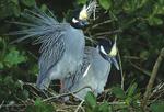 Yellow crowned night herons nesting