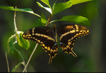 Schaus' swallowtail butterfly on wild lime