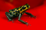 Mimic poison frog