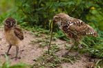 Adult male burrowing owl offering common iguana to juvenile burrowing owl