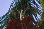 Osprey in fruiting Royal Palm tree.
