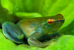 Greater hatchet-faced tree frog
