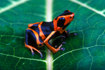 Red headed poison frog