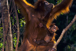 Sumatran orangutan with infant.