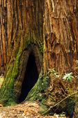 Coastal redwood trees
