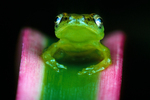 Sharp-nosed reed frog