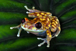 Blue mountain forest frog or Black eyed emerald tree frog