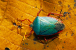 Turquoise shield bug or Turquiose stink bug.