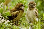 Florida Burrowing Owls