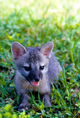 Gray fox pup