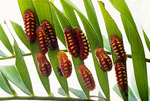 Atala butterfly caterpillars changing into chrysalises