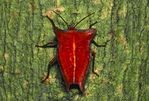 Red stink bug