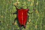 Red stink bug