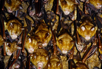 Deiaden roundleaf bats