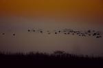 White ibis at twilight