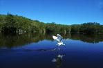 Snowy egret fishing at Mrazek Pond