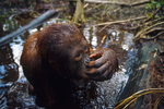 A juvenile Bornean Orangutan blows water from her nose after playing underwater.