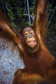 Gistok,a Bornean Orangutan