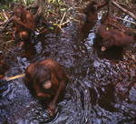 Juvenile Bornean Orangutans playing in water